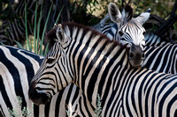 Zebra Headrest