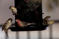 Finches All Around